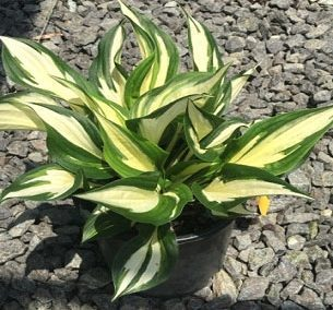 Hosta, Fire & Ice