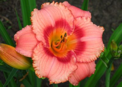 Daylily, Strawberry Candy