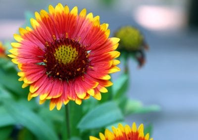 Blanket Flower, Arizona Red Shades