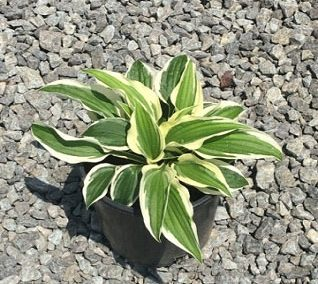 Hosta, Patriot