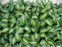 Hosta, Dream Queen